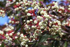 Dogwood berries  3 close up Royalty Free Stock Photo