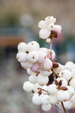 White berries on the Snowberry plant Royalty Free Stock Photos
