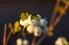 White berries Symphoricarpos albus laevigatus Royalty Free Stock Photos