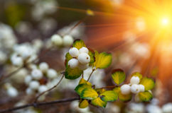 White berries Symphoricarpos albus laevigatus Stock Photography