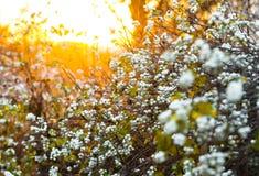 White berries Symphoricarpos albus laevigatus Royalty Free Stock Photo