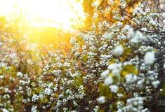 White berries Symphoricarpos albus laevigatus Royalty Free Stock Photography