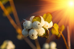 White berries Symphoricarpos albus laevigatus Royalty Free Stock Images