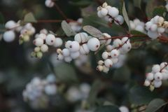 White berries on the Symphoricarpos albus plant also known as the common snowberry on a street in Nieuwerkerk aan den IJssel, the. Netherlands royalty free stock photo