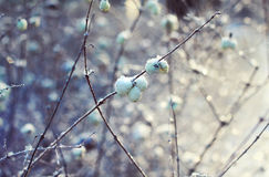 White berries in winter Stock Images