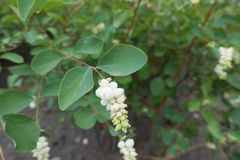 White berry-like drupes of Symphoricarpos albus. White berry like drupes of Symphoricarpos albus Stock Images