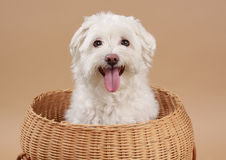 White bichon. Cute little white bichon dog in wicker basket Stock Photography