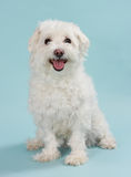 White bichon. Cute little white bichon dog, blue background Royalty Free Stock Photo