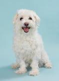 White bichon Royalty Free Stock Photo