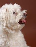 White bichon Stock Images