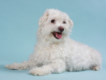 White bichon Royalty Free Stock Image