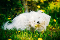 White Bichon Bolognese Dog Sitting In Green Grass. Funny White Bichon Bolognese Dog Sitting In Green Grass and sniffs dandelion flowers in Park Royalty Free Stock Image