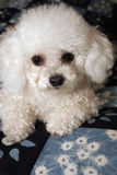 White Bichon Frise Stock Photography