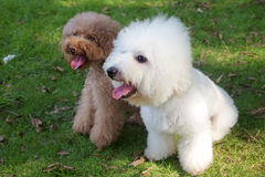White bichon frise and  brown miniature poodle Royalty Free Stock Photo