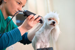 White bichon frise dog being groomed by a professional groomer. Haircut white Bichon in hair service Stock Photo