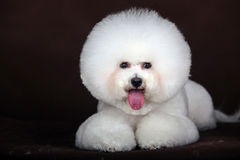 White Bichon Frise dog. Purebred white Bichon Frise dog   in studio Royalty Free Stock Image