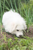 WHITE  BICHON FRISE IN THE ONIONS Royalty Free Stock Image