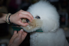 White bichon frise. A small white bichon frise dog being groomed by a professional using special products and making its coat clean and fluffy Royalty Free Stock Image