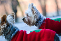 White bichone pets in red sweder. Bichon pets dressed in red, walking in the park being attentive and curious Royalty Free Stock Photography