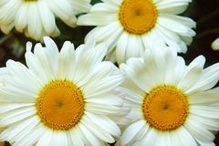 White big flower chamomile, flowers chamomile close-up, yellow middle white petals, close-up royalty free stock image