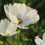 White big flower. On the flowerbed, cosmos Royalty Free Stock Images