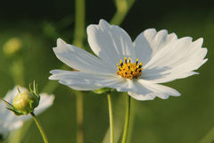 White big flower. On the flowerbed, cosmos Stock Image
