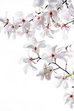 White big flowers of the white magnolia. On a white background Royalty Free Stock Photography