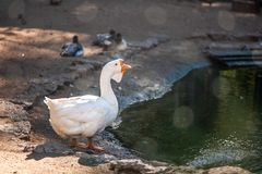 White, big and funny domestic goose. On the poultry farm stock photo