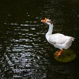 White big goose on the pond.  stock photography