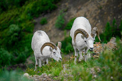 White big horn sheep. In Denali National Park, Alaska stock photo
