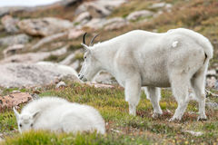 Free White Big Horn Sheep - Rocky Mountain Goat Royalty Free Stock Image - 96880256