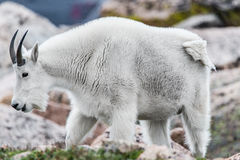 White Big Horn Sheep - Rocky Mountain Goat. In rock mountain terrain of the colorado rocky mountains - taken on mt mount evans near denver colorado - animal Stock Image