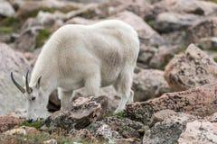 White Big Horn Sheep - Rocky Mountain Goat stock image