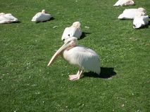 White big pelican sitting on green grass royalty free stock photos