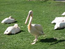 White big pelican sitting on green grass royalty free stock images