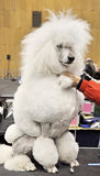 White big poodle Royalty Free Stock Image