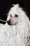 White big poodle royalty free stock photos