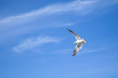 White big seagull flying on blue sky background Stock Photo