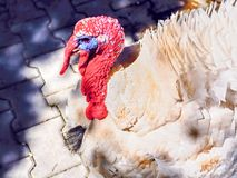 White big turkey with blue border on the eyes and bright red neck and head. The plumage is white, side view in closeup in the sun stock image