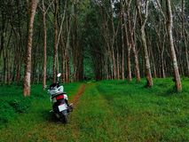 White bike on the path through the rubber trees forest royalty free stock images