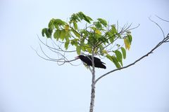 White-billed crow in Solomon Island Royalty Free Stock Photo