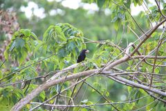 White-billed crow in Solomon Island Royalty Free Stock Images