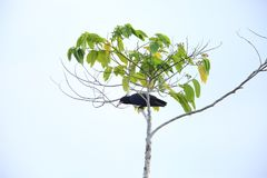 White-billed crow in Solomon Island Royalty Free Stock Photos