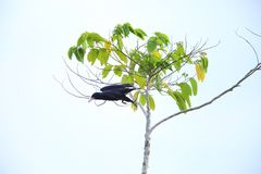White-billed crow in Solomon Island Stock Image