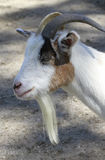 White Billy Goat with Beard Royalty Free Stock Images