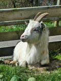 A white Billy Goat royalty free stock photos
