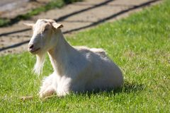 White Billy Goat Lying in Grass Stock Photography