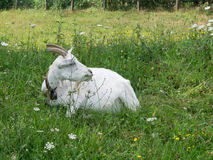 White Billy goat, male goat, lying in field, chewing grass. Farm Royalty Free Stock Photography