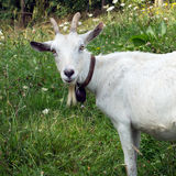 White billygoat, male goat, in field.  Stock Photo