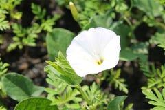 White bindweed Royalty Free Stock Images
